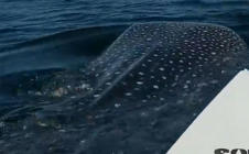 Giant whale shark greets fisherman