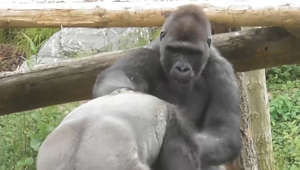 These playfighting silverback gorillas delight everyone at the zoo