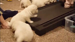 This litter of puppies really want to join in on the treadmill fun