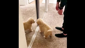 Golden Retriever puppy very ecstatic to find a new 'friend'