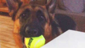 German Shepherd makes it clear he's ready for playtime