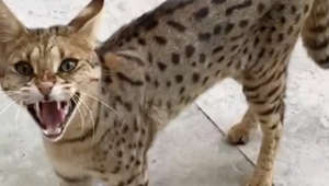 Exotic cat roaming posh London neighborhood suspected of feeding on pets