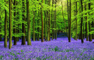 Covering ancient woodlands in a carpet of purple in April and May, bluebell flowering in the UK is an enchanting sight. Although bluebells grow across many parts of the country, some of the most beautiful places include Blickling Estate in Norfolk, Lake District National Park, Wepham Wood and Ashridge Estate in Hertfordshire.