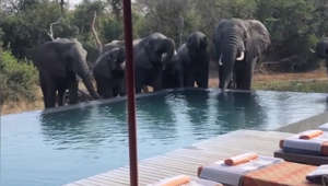 Herd of elephants drink from guests' pool