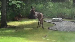 Baby moose in Alaska joyfully plays with water sprinkler