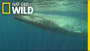 Blue whales are the largest animals to have ever existed. Learn why they're larger than any land animal and why they were hunted for years, making them endangered. ➡ Subscribe: http://bit.ly/NatGeoWILDSubscribe  #NatGeoWILD #BlueWhales #Educational  About National Geographic Wild: National Geographic Wild is a place for all things animals and for animal-lovers alike. Take a journey through the animal kingdom with us and discover things you never knew before, or rediscover your favorite animals!  Get More National Geographic Wild:  Official Site: http://bit.ly/NatGeoWILD Facebook: http://bit.ly/NGWFacebook Twitter: http://bit.ly/NGWTwitter Instagram: http://bit.ly/NGWInstagram  Learn more about blue whales: https://on.natgeo.com/2T4VRvH  Blue Whales 101 | Nat Geo Wild https://youtu.be/bgiPTUy2RqI  Nat Geo Wild  https://www.youtube.com/user/NatGeoWild
