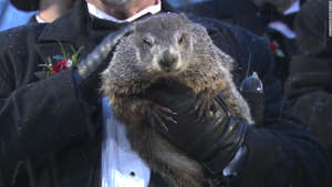 a close up of an animal: Punxsutawney Phil
