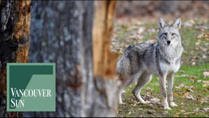 a wolf that is standing in the grass: Coyotes are well adapted to living in cities. Here's what you can do when you spot a coyote. ___  About: Since 1912, the Vancouver Sun has cast a watchful eye on the events, issues and politics of the day – all with a unique West Coast perspective. Publishing Monday through Saturday in print and daily online at vancouversun.com, we are proud to be B.C.'s largest newsroom and are dedicated to telling the stories of our vibrant community.  Connect with the Vancouver Sun Online: Visit vancouversun.com: https://vancouversun.com/ Subscribe to the Vancouver Sun: https://pages.postmedia.com/vancouver-sun/subscribe/ Find the Vancouver Sun on Facebook: https://www.facebook.com/VancouverSun/ Follow the Vancouver Sun on Twitter: https://twitter.com/vancouversun Follow the Vancouver Sun on Instagram: https://www.instagram.com/thevancouversun/?hl=en