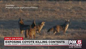 a cat is standing on a dry grass field: Competitive coyote hunts could be a thing of the past in Nevada