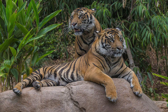 This image provided by the San Diego Zoo shows two-year-old tiger brothers Conrad and Thomas relaxing in the Tull Family Tiger Trail Friday May 23, 2014, at the San Diego Zoo Safari Park.