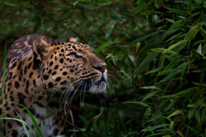 The Amur leopard is solitary. Nimble-footed and strong, it carries and hides unfinished kills so that they are not taken by other predators.