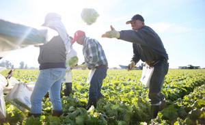 Farm workers harvest lettuce in a field outside of Brawley, California.