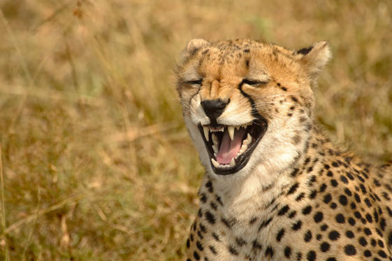 Slide 1 of 45: Cheetah (Acinonyx jubatus) - Laugh