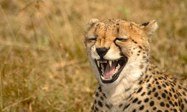 Slide 1 of 58: Cheetah (Acinonyx jubatus) - Laugh