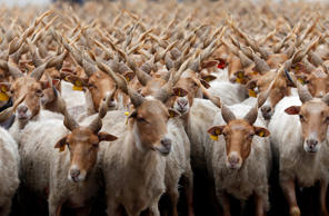 Racka sheep are seen during celebrations for the start of the new grazing season...