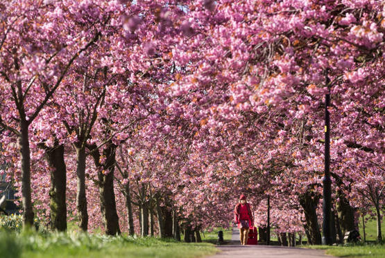 Slide 1 of 21: A woman walks along a path lined with cherry blossoms on April 18.