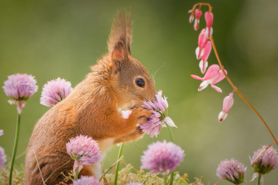 Slide 1 of 22: Squirrels appear to smell flowers, Bispgarden, Sweden - Apr 2017 One of the squirrels smelling the flowers