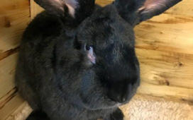 Mystery surrounds death of giant rabbit on United Airlines flight