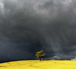 Seasonal weather, Brecon Beacons, UK - 27 Apr 2017 Lone tree in Oil Seed Rape Field in the Brecon Beacons as a storm arrives