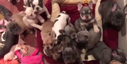 Adorable Bulldog Puppies Compete for Attention