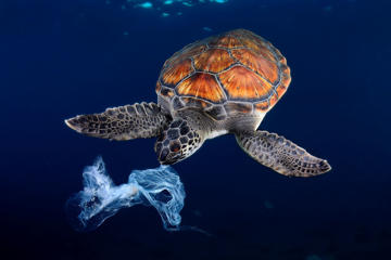 Green sea turtle trying to eat a plastic bag,It seems a jellyfish. Shot made between 3 and 4 metres deep.