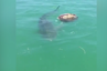watch how this shark gobbles up a sea turtle