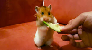 Adorable hamster eating a lovely cucumber
