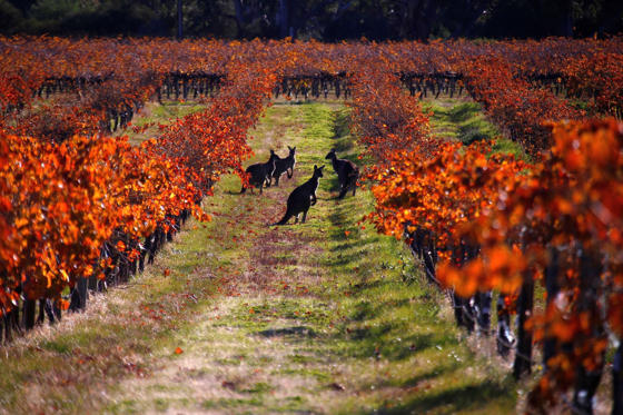 Slide 1 dari 33: A group of Kangaroos can be seen between rows of vines at the Charles Melton vineyard located in the Barossa Valley, north of Adelaide in Australia, June 10, 2017.