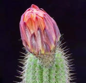Time-lapse film of blooming cactus flowers