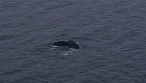 Drone captures Humpback Whale Cruising in Seattle