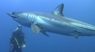 Divers swim with blue and mako sharks off Cape Point