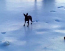 Cute chihuahua struggles to walk on snow