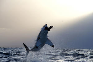 Great White Sharks hunting Cape Fur Seals off Seal Island, False Bay, Cape Town, South Africa - 09 Aug 2016 Great White shark breaching on a seal decoy