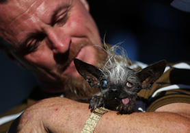 The 2016 World's Ugliest Dog Competition was won by Sweepee Rambo (pictured), a Chihuahua/Chinese Crested dog owned by Jason Wurtz of Los Angeles, California, U.S.