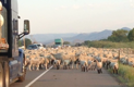 State troopers help ranchers herd 1,000 sheep