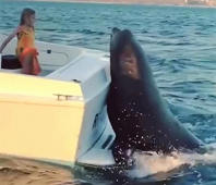 Huge sea lion hitches a boat ride