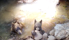 Momma bear and cub cool down in Forest Ranch, California
