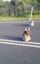 Fighting koalas shooed from highway by concerned motorist