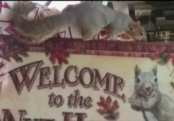 Squirrel that foiled burglary returns to wild
