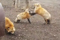 Foxes caught in bizarre screaming match