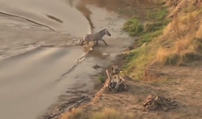 Zebra survives croc attack, falls prey to lions