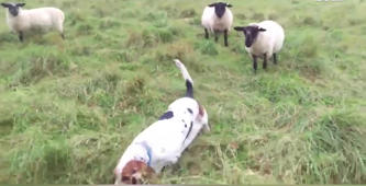 This dog is the world's unlikeliest shepherdess
