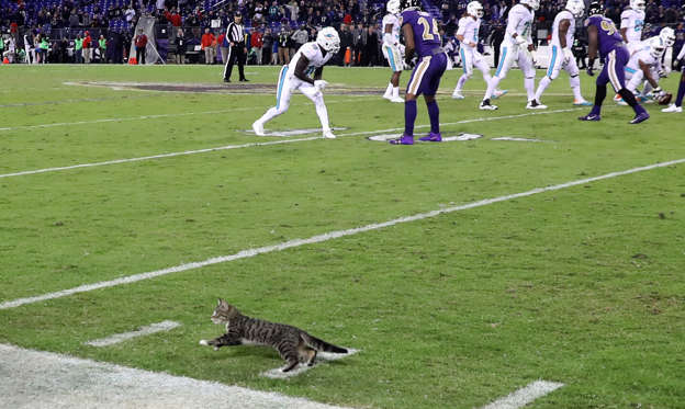 Lysbilde 1 av 67: BALTIMORE, MD - OCTOBER 26: A cat runs onto the field late in the fourth quarter of the Baltimore Ravens and Miami Dolphins game at M&T Bank Stadium on October 26, 2017 in Baltimore, Maryland. (Photo by Rob Carr/Getty Images)