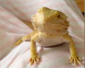 Bearded dragon smiles at her human