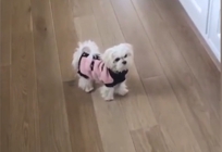 Maltese dog hates her new winter clothes