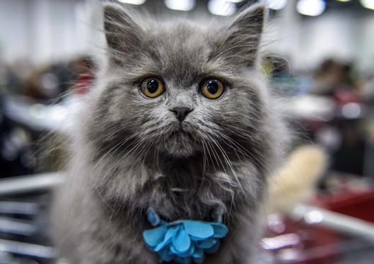 Slide 1 dari 25: A British Longhair cat is seen during the 'Valencia Cup' international cat exhibition in Moscow on November 18, 2017.