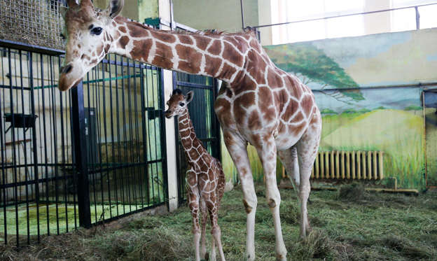 Slide 2 of 78: NOVEMBER 30, 2017: Giraffe called Iva with her newborn calf in an enclosure at the Kaliningrad Zoo.