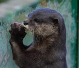 When otters get hungry, their reaction is priceless