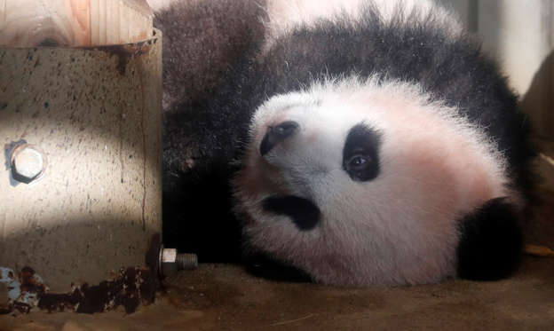Slide 1 of 78: A baby panda Xiang Xiang, born from mother panda Shin Shin on June 12, 2017, is seen during a press preview ahead of the public debut at Ueno Zoological Gardens in Tokyo, Japan December 18, 2017. REUTERS/Issei Kato