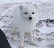 Video: Arctic fox enjoys belly rubs